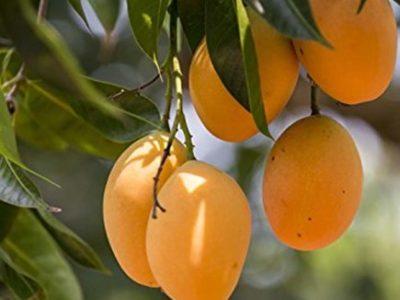 где растет манго в каких странах